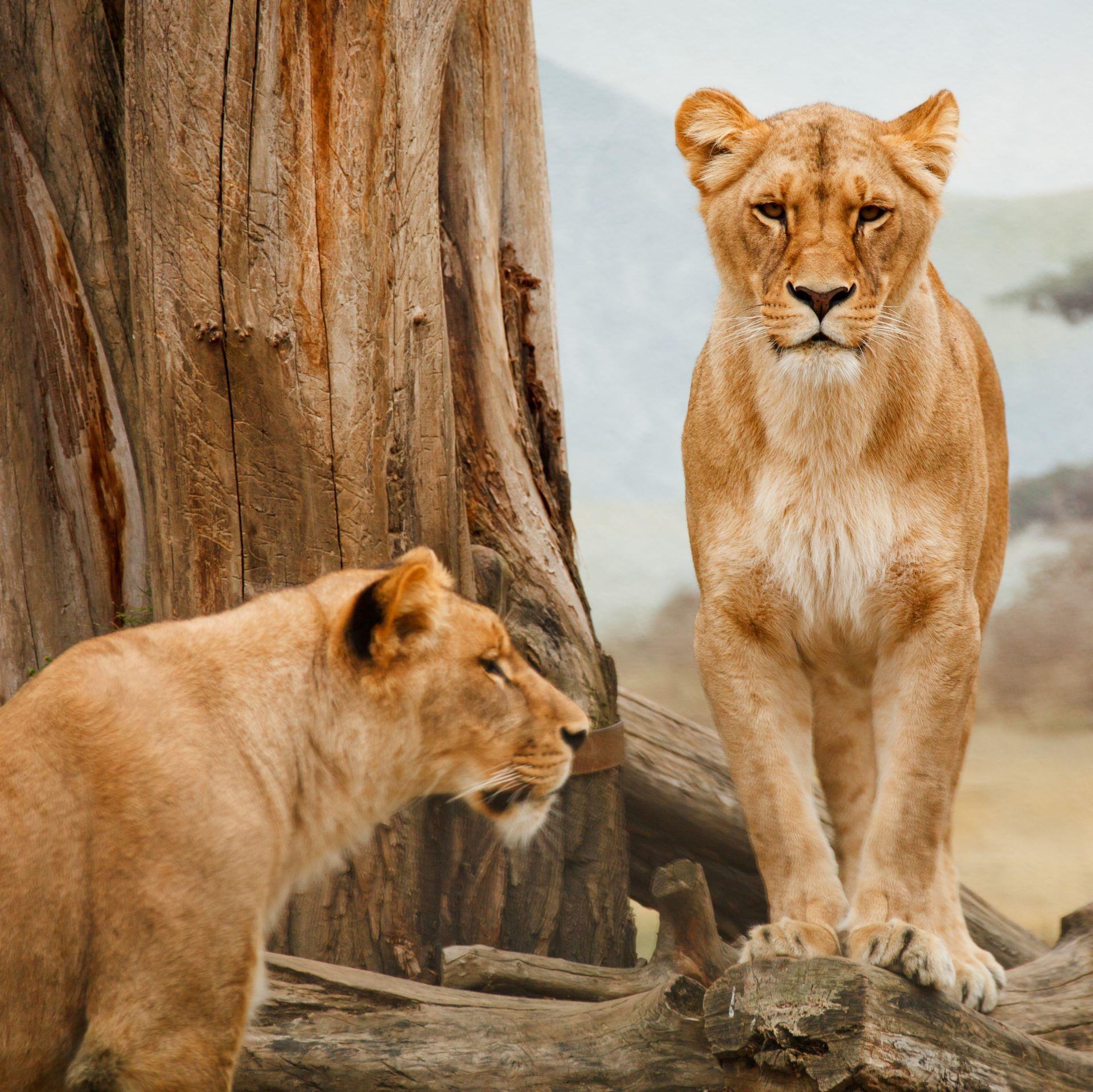 Löwinnen gemeinsam